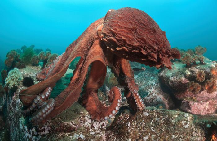 Jätte bläckfisk