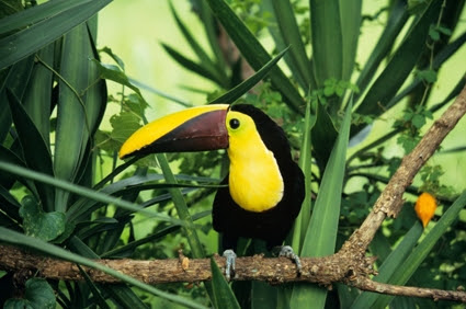 Chestnut-mandibled toucan (Ramphastos swainsonii), on branch