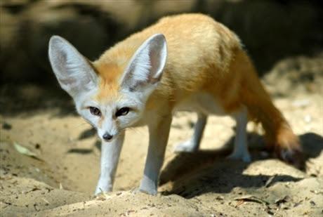 djur med stora öron