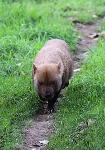 Bush Dog walking towards camera