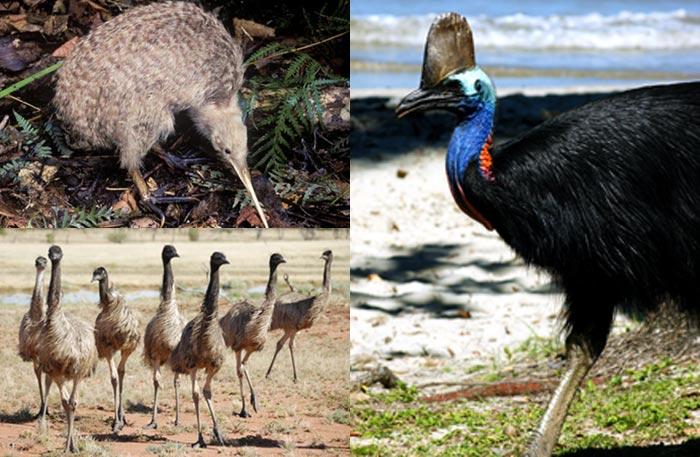 fågel i australien 3 bokstäver