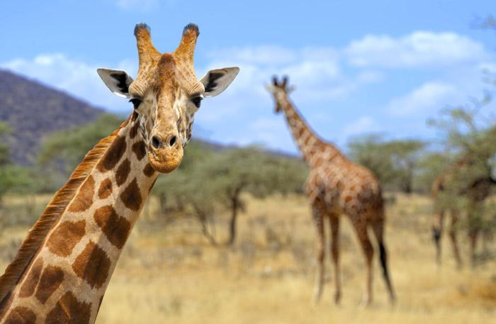 Fakta_Zomniga djur_Giraff