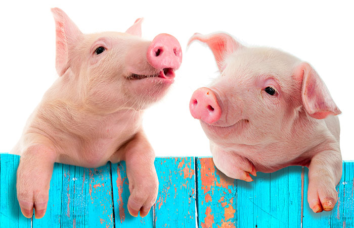 Två grisar