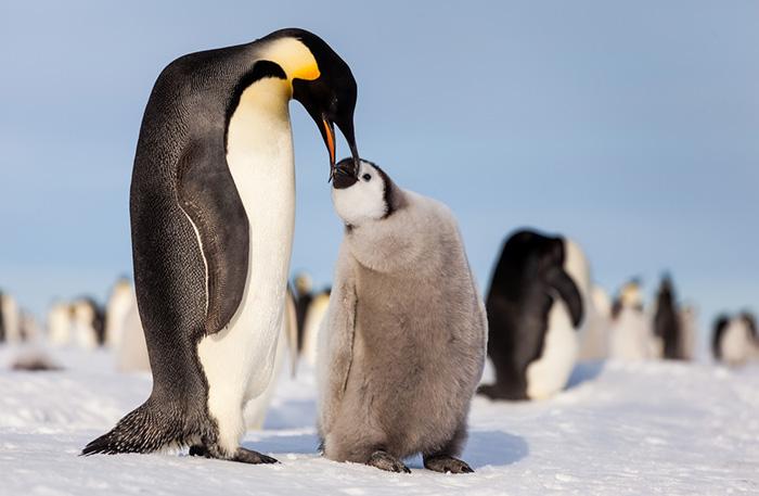 Kejsarpingvin matar sin unge