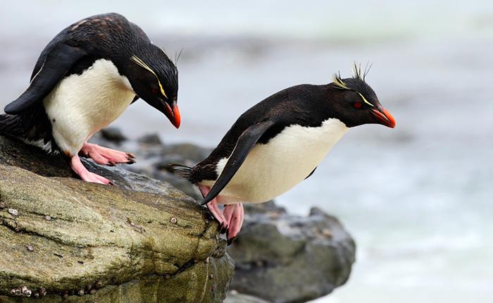 Klipphopparpingviner