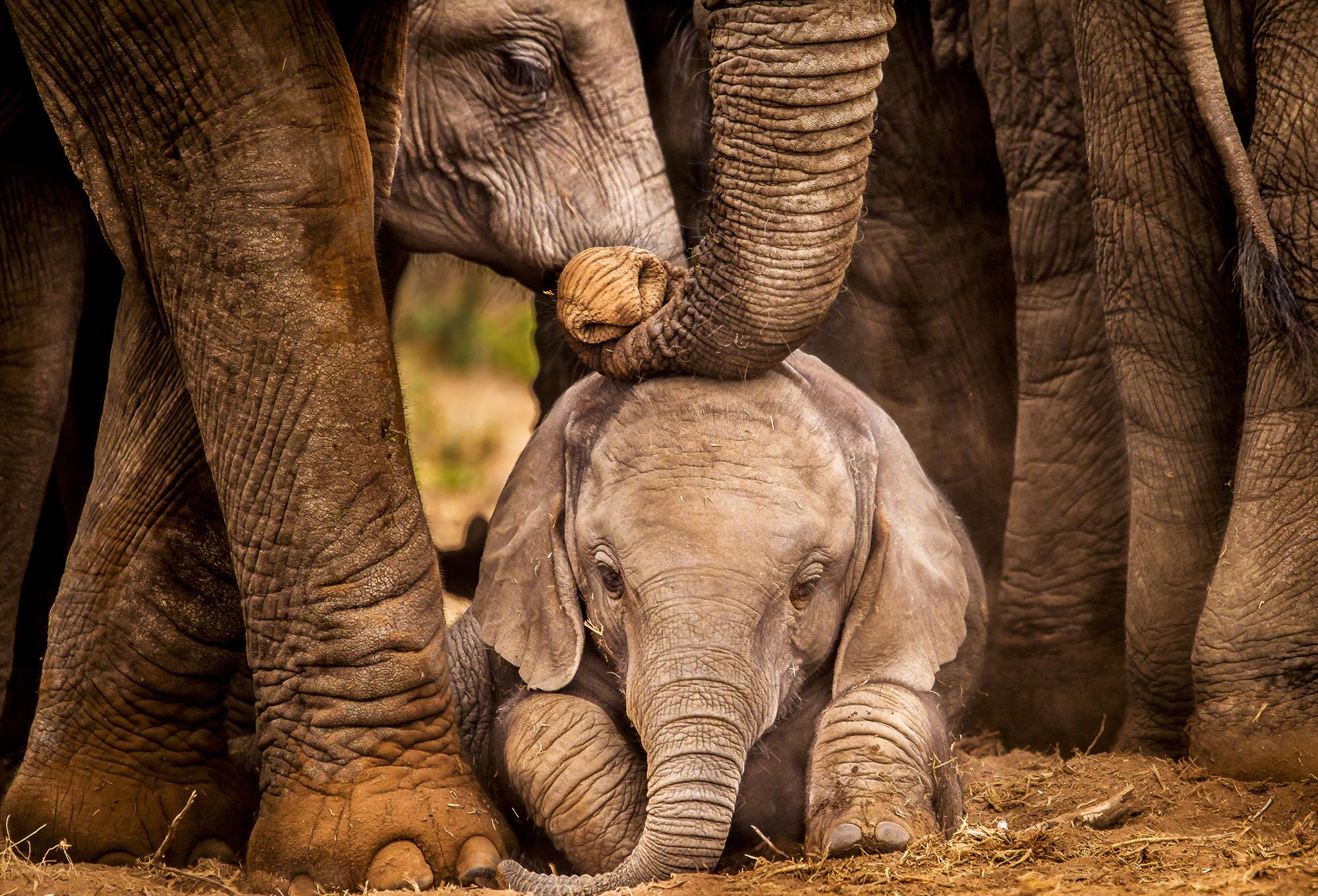 Fakta_210812_Elefant_unge